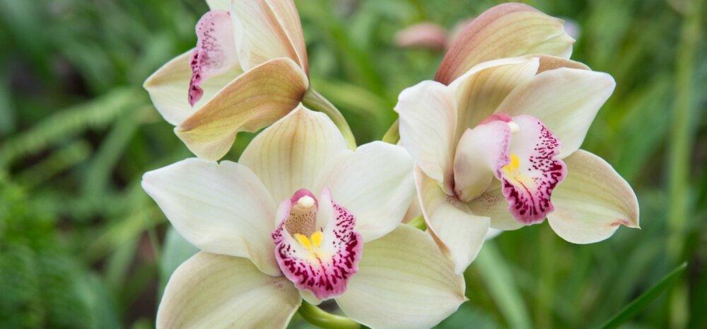 Tallinna Botaanikaaias toimub traditsiooniline orhideenäitus