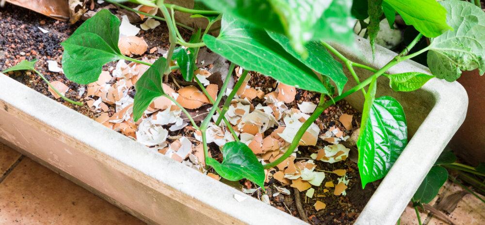 Яичная скорлупа, как удобрение: как собирать и правильно использовать