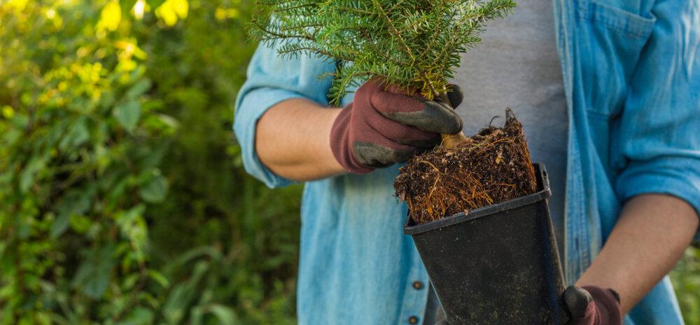 НА ЗАМЕТКУ   Можно ли елку посадить дома в горшок