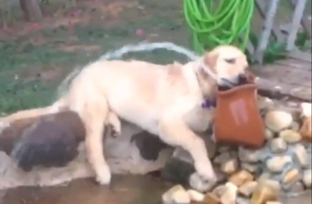 VIDEO | Palava suveilma taktis: koeral pole sooja ega külma sellest, et ta otsapidi lausa purskkaevus laiskleb