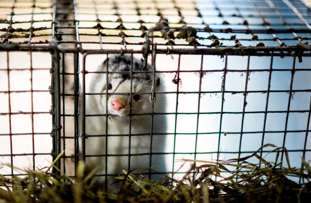 Loomade eestkostjad: karusloomakasvatuse mõjuanalüüs ei ole erapooletu
