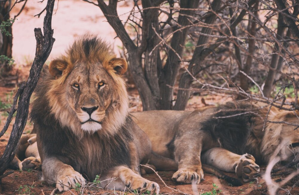 Nastja hindab Lõvisid: vaata, millised on tähtkuju tugevad ja nõrgad omadused