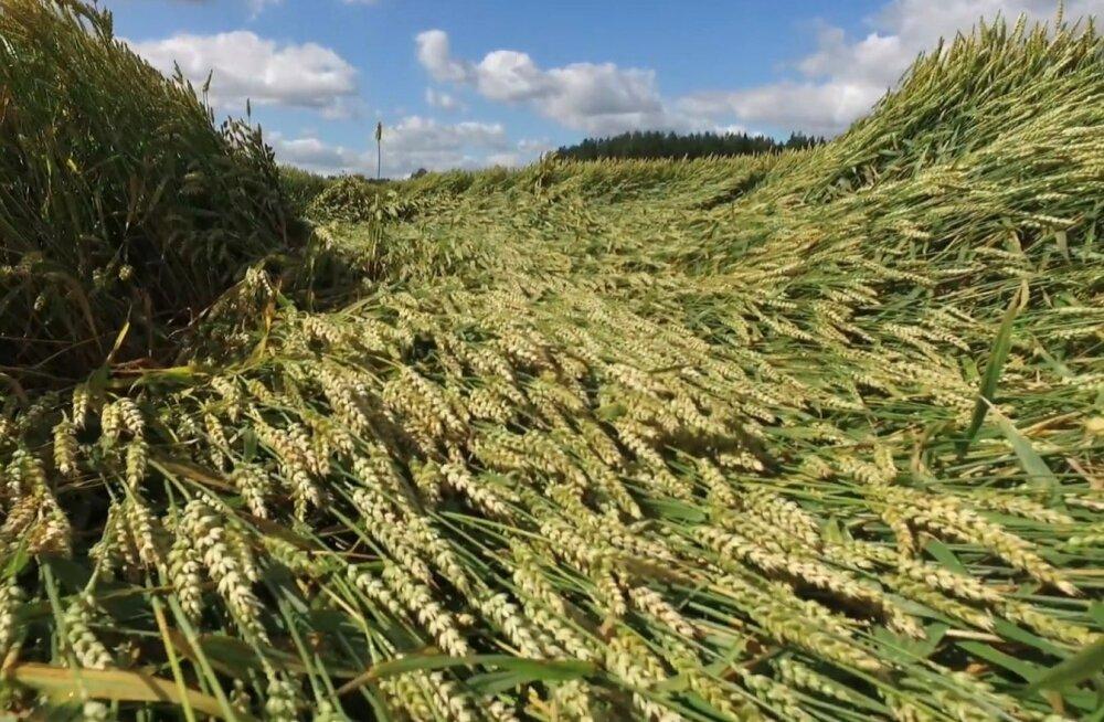 Kui vilja kasvu ei reguleerita, võib see lamanduda ning seda ei saa normaalselt kombainida.