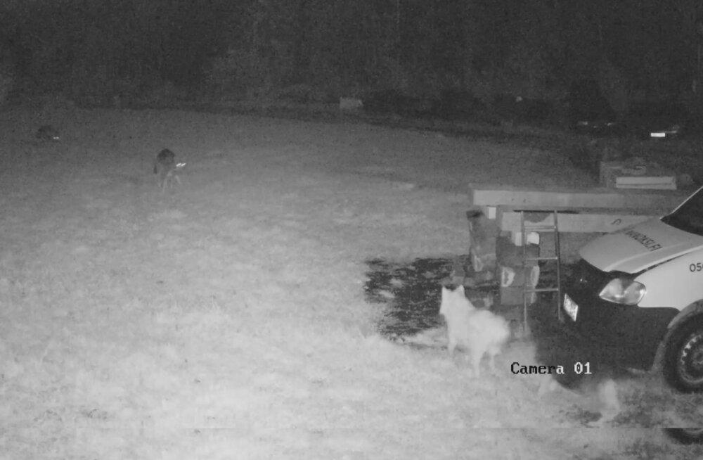 VIDEO   Pühapäeva ööl käisid hundid Raplamaal koduõuel koeri kimbutamas
