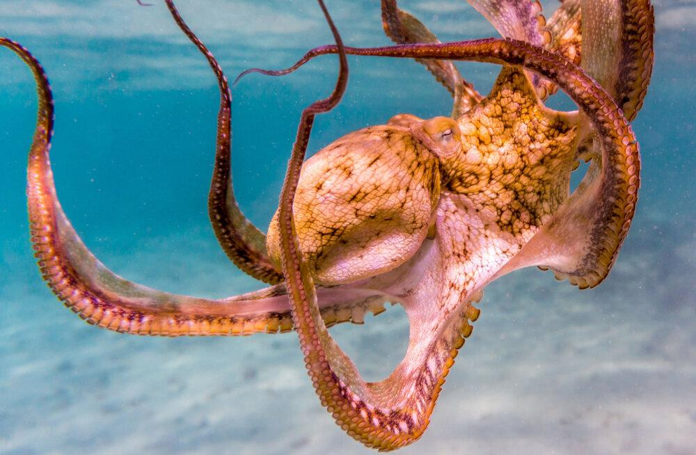 """Merebioloogid avastasid ookeani põhjast kaheksajalgade """"linna"""" ning ristisid selle Octlantiseks"""
