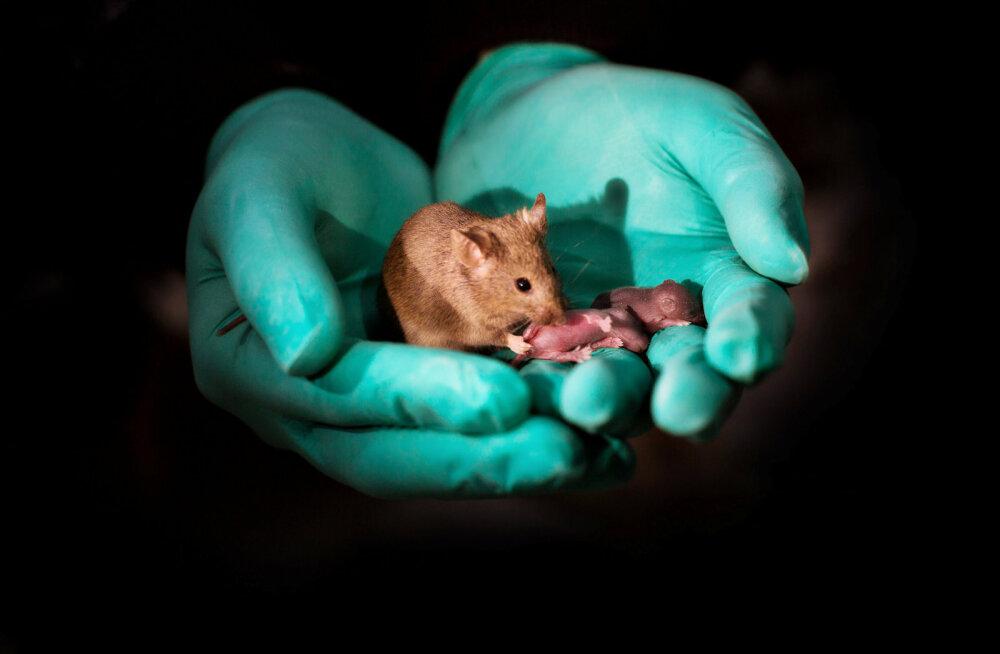 Geenitehnoloogia võimaldab teadlastel ilmale tuua samasooliste vanematega hiiri