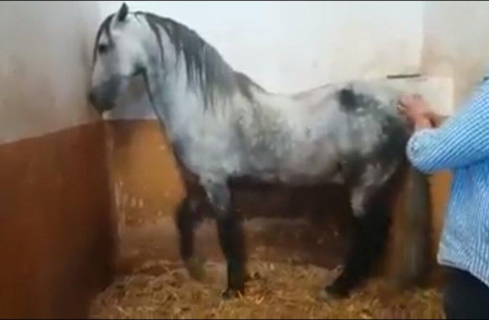 MEELEOLUKAS VIDEO | Hobune tantsib nagu tõeline flamenkoartist