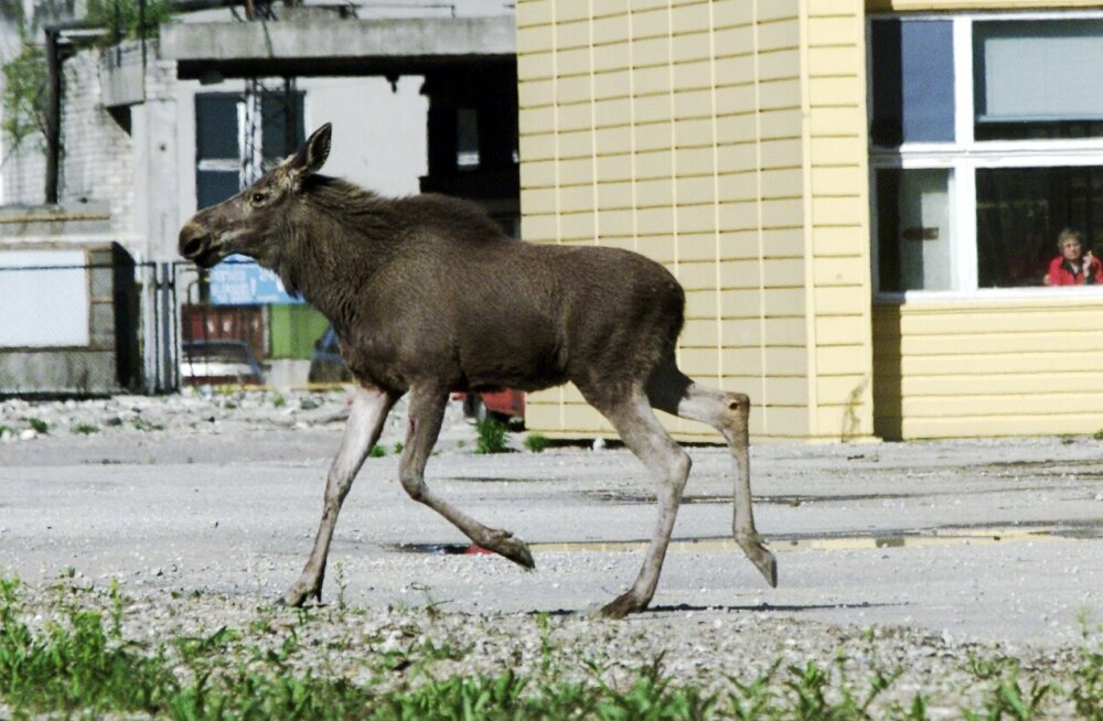 В последнее время в городах Эстонии все чаще стали появляться дикие животные