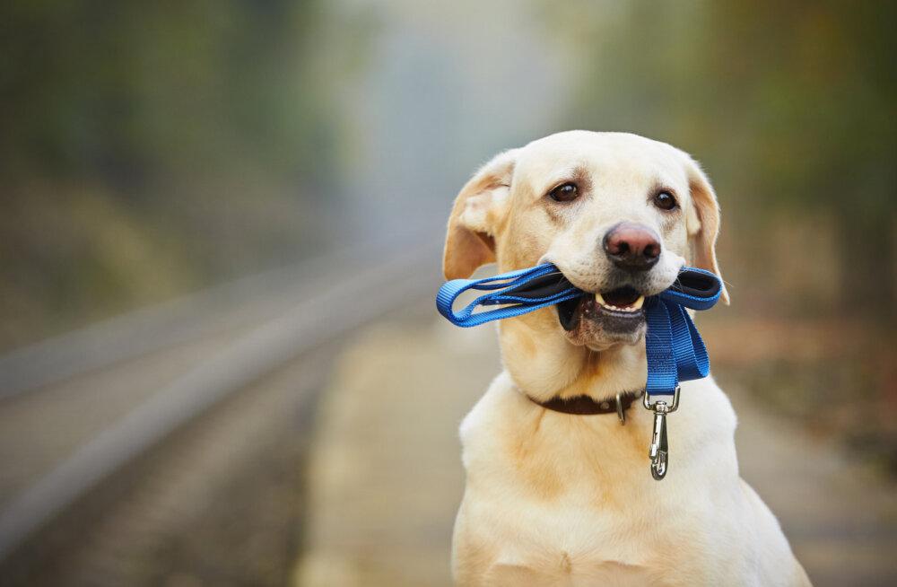 1c1c2461f86 Mida teha, et koer ei läheks küla peale luusima - Lemmikloom