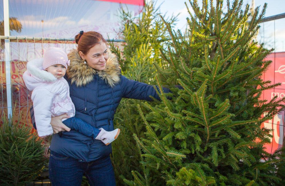 MEIE MAA | Jõulupuu valimine käib täie hooga