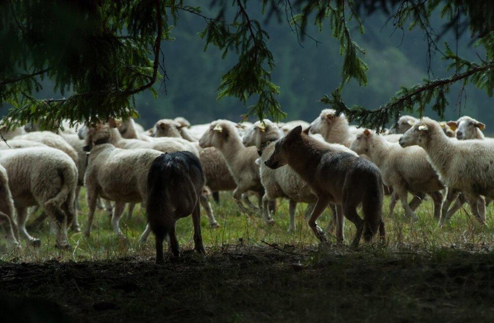"""Pärast esimest huntide rünnet ehitas pere madalate aedade asemele ümber karjamaade ligemale kahe meetri kõrgused voolu all traataiad. """"Oleme teinud suuri kulutusi, ent hunt lagistab vaid naerda,"""" nendib lambakasvataja"""