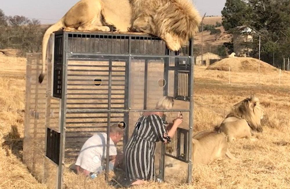 """""""Аттракцион"""": ради фото диких зверей туристы полезут в клетку в национальном парке ЮАР"""