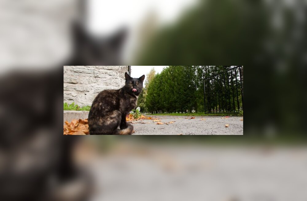 surnuaia kass näitab keelt