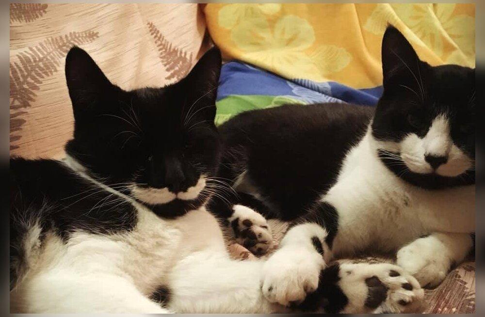 Valge vunts ja täpilised varbad: kaks pisikest kassipoissi otsivad endale kodusid