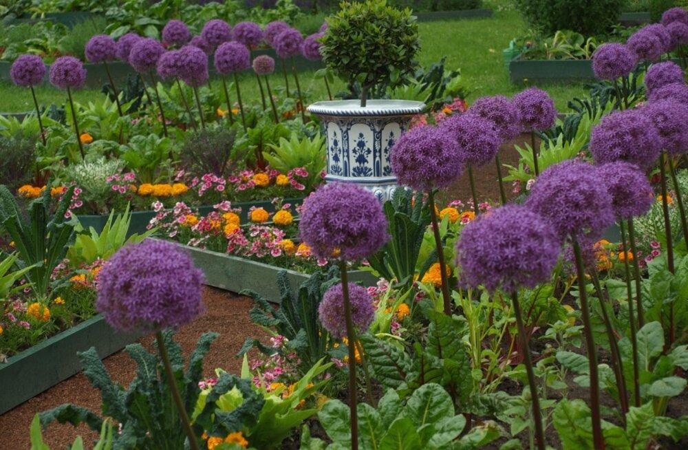 Strelna Peeter I köögiviljaaed peet lehtkapsas lauk Allium