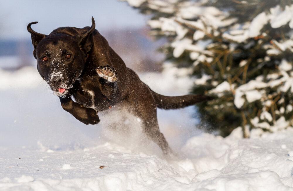 VIDEO | Nalja nabani: vaata, kuidas reageerivad loomad, kui puutuvad kokku lumega