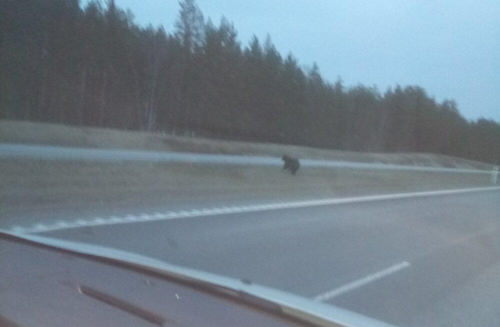 ФОТО читателя Delfi: Вот это номер! По Нарвскому шоссе бегает медведь