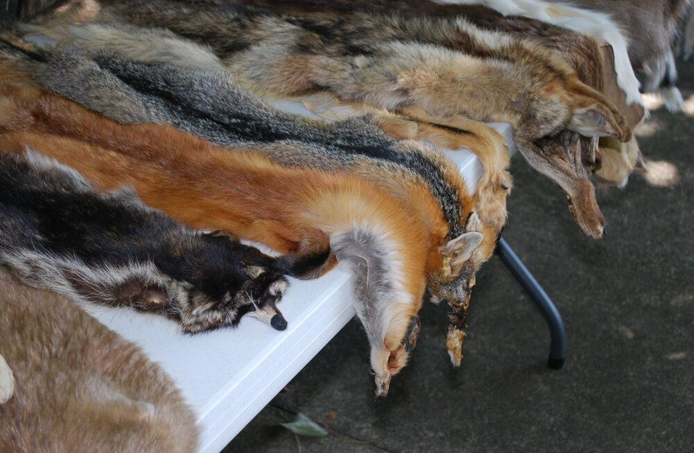 Halb eeskuju: miks ei ole moebränd Prada ikka veel karusnaha kasutamisest loobunud?