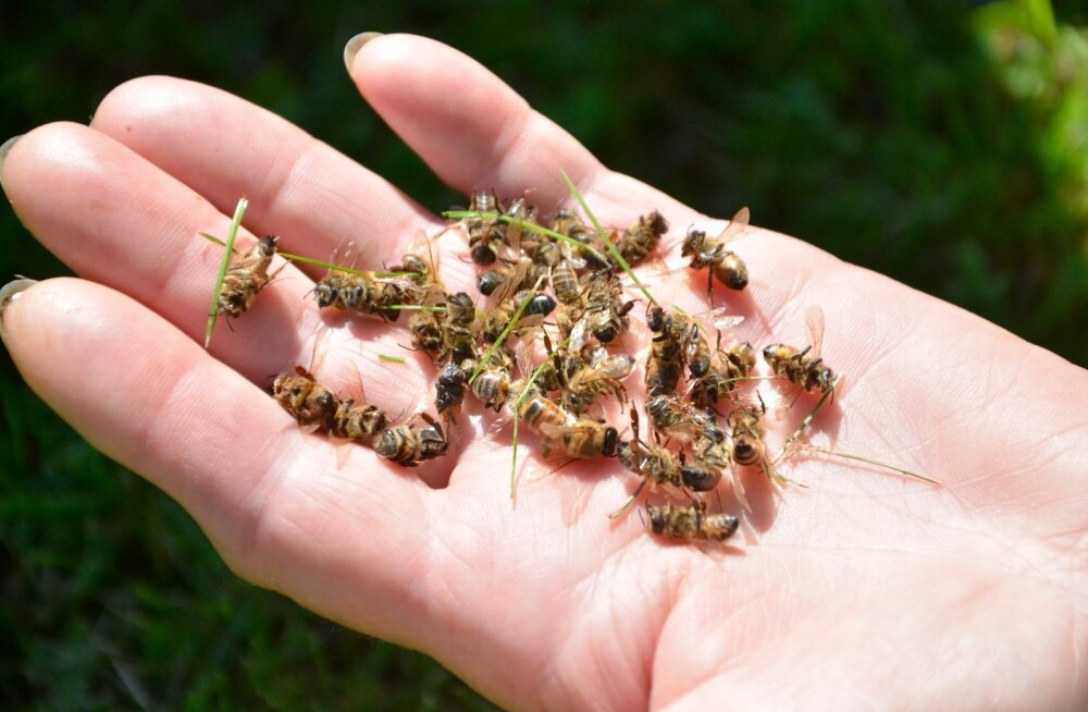 Miljonid mesilased langesid suvel taimemürgi ohvriks.