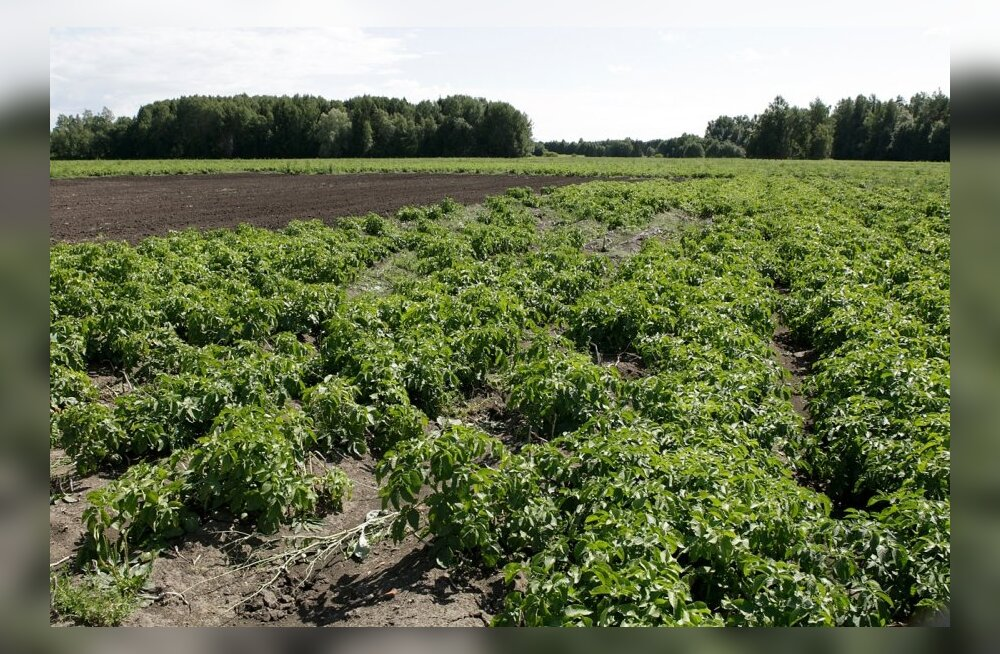 Tänavu tuleb kartulimardikat ohjeldada ka keemiliste vahenditega