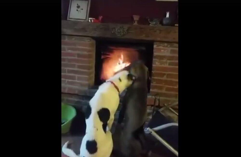 VIDEO: Oh neid armsakesi! Vaata, kui malbelt need kaks koera kamina ees õrnutsevad