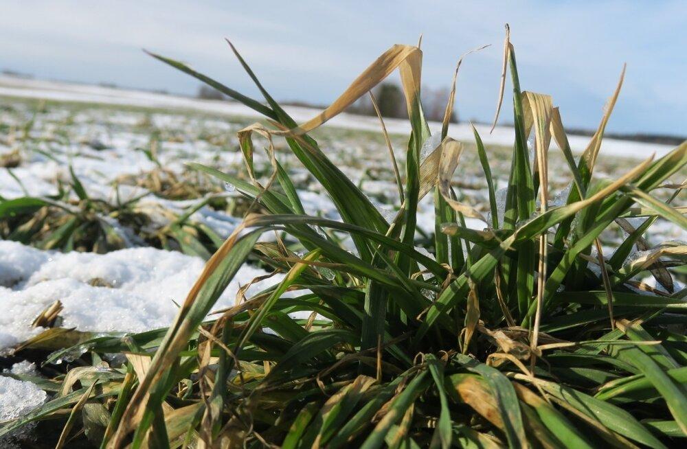 Taliviljapõllud märtsis.