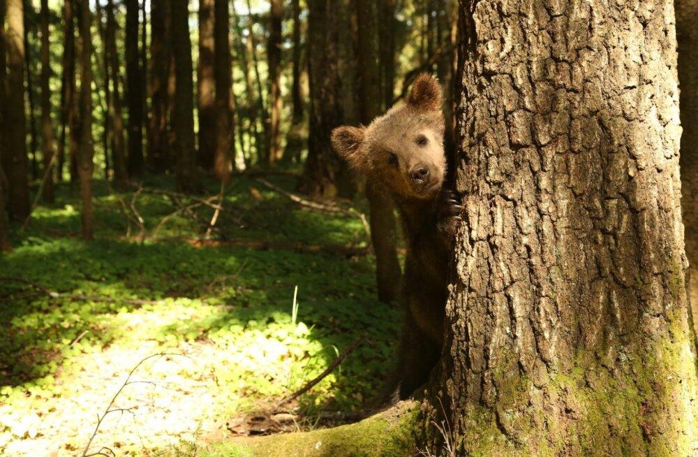 VIDEO | Vaata, kust pärinevad Valga linnas nähtud karud Polja ja Proša