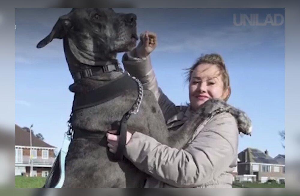 SAA TUTTAVAKS | Suurbritannia suurim koer Freddy on üle kahe meetri pikk