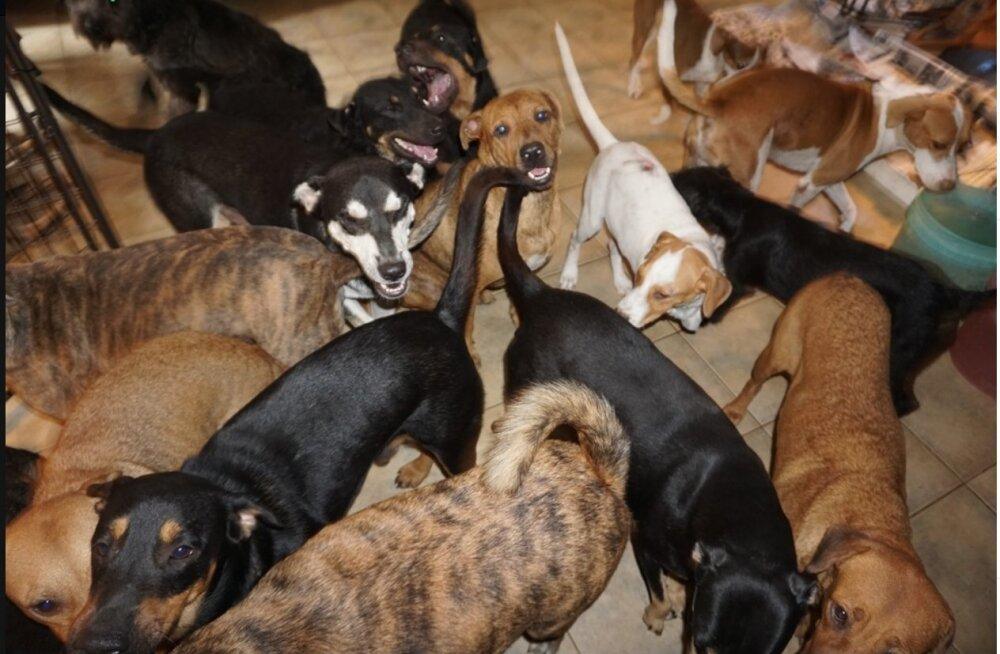 FOTOD | Naine võttis oma hoole alla pea 100 koera, kes muidu oleksid Bahama saartel möllanud orkaanis hukkunud