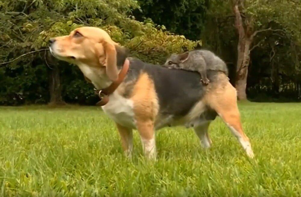 VIDEO | Lahutamatud sõbrad: leinas koer leidis ebatavalise südamesõbra