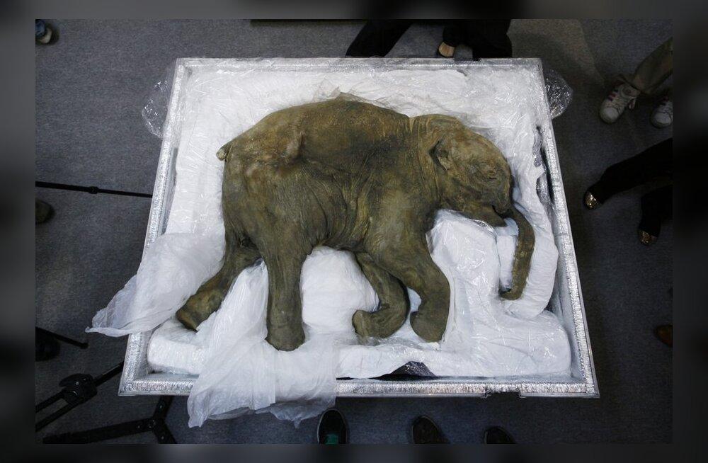 СЕНСАЦИЯ! В Якутии впервые исследуют головной мозг мамонта