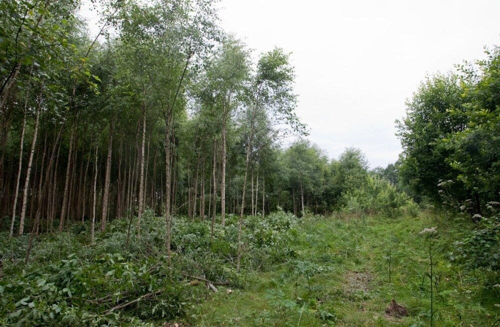 """Noore metsa hooldamisega kujundame """"võsast"""" tulevikumetsa ja anname väärtuslikele puuliikidele paremad kasvutingimused."""