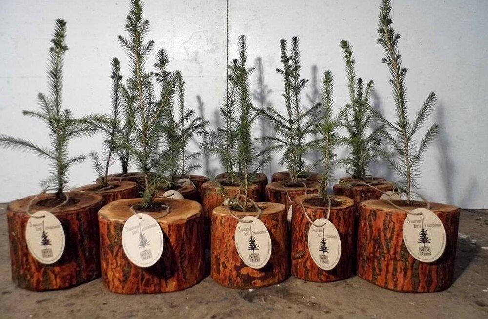 Eesti esimestel jõulukuuskede väljarentijatel kliente jagub