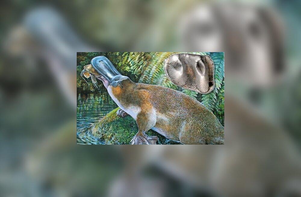 Austraaliast leiti hiidnokklooma hammas