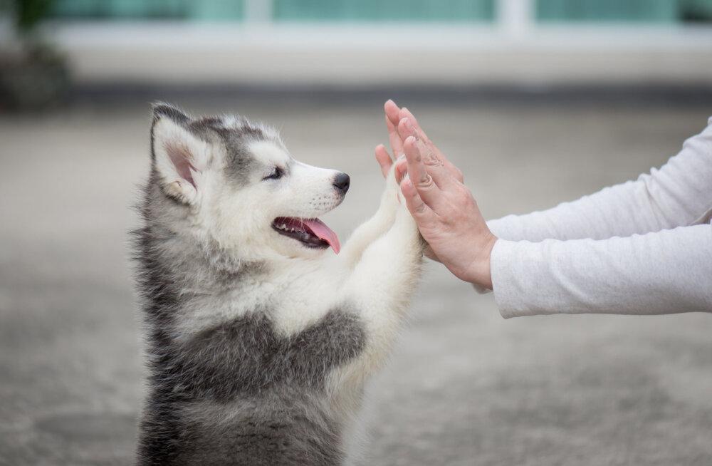 Kumb on peremees, kas koer või sina? Eksperdi 5 lihtsat sammu karjajuhiks saamiseni