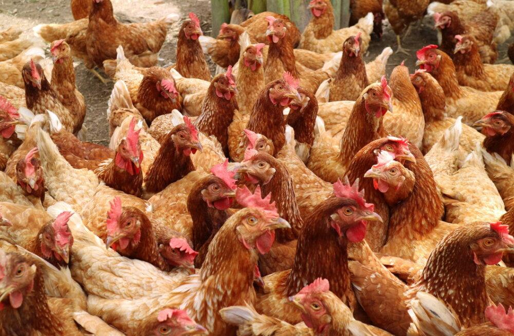 EAS kutsub ukrainlasi Valgamaale 3 miljoni kanaga farmi rajama