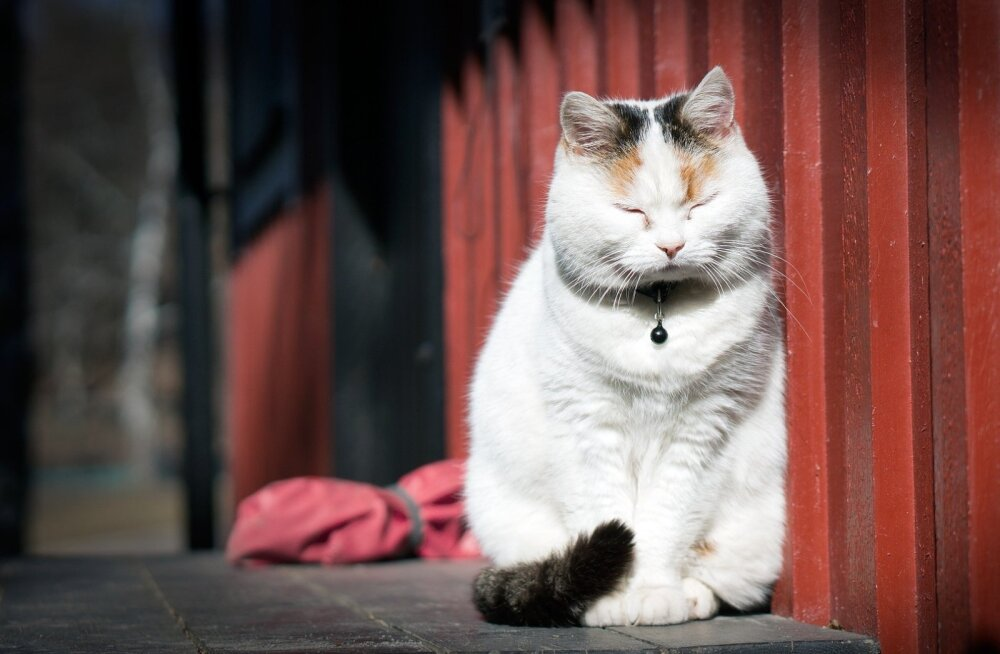 Kassid ei nurru vaid õnnetundest: mis paneb kassi nurruma?