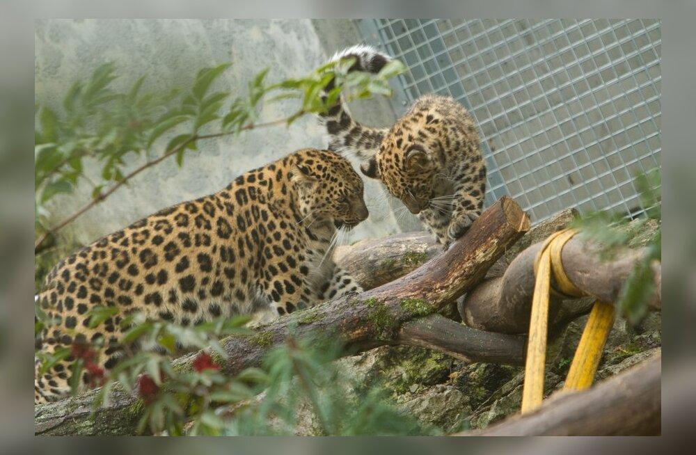 Таллиннский зоопарк отмечает именины котят амурского леопарда