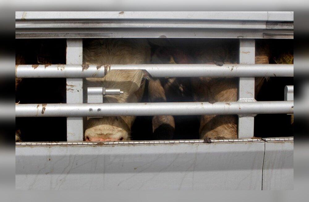 Sadala Agrost pärit lihaveiste saatmine Itaaliasse Luige kogumiskeskusest