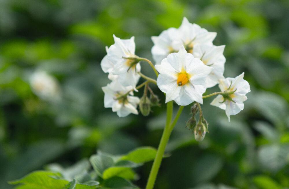 Hollandlased registreerisid maailma esimese seemnest kasvatatava kartulisordi