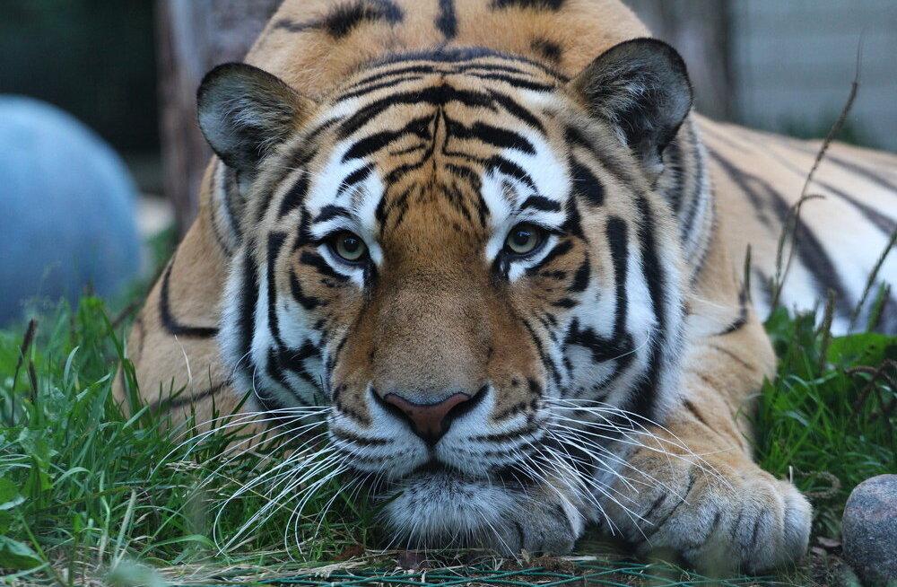 Olerex kogus Tallinna loomaaia Tiigrioru projekti jaoks ligi 13 000 eurot