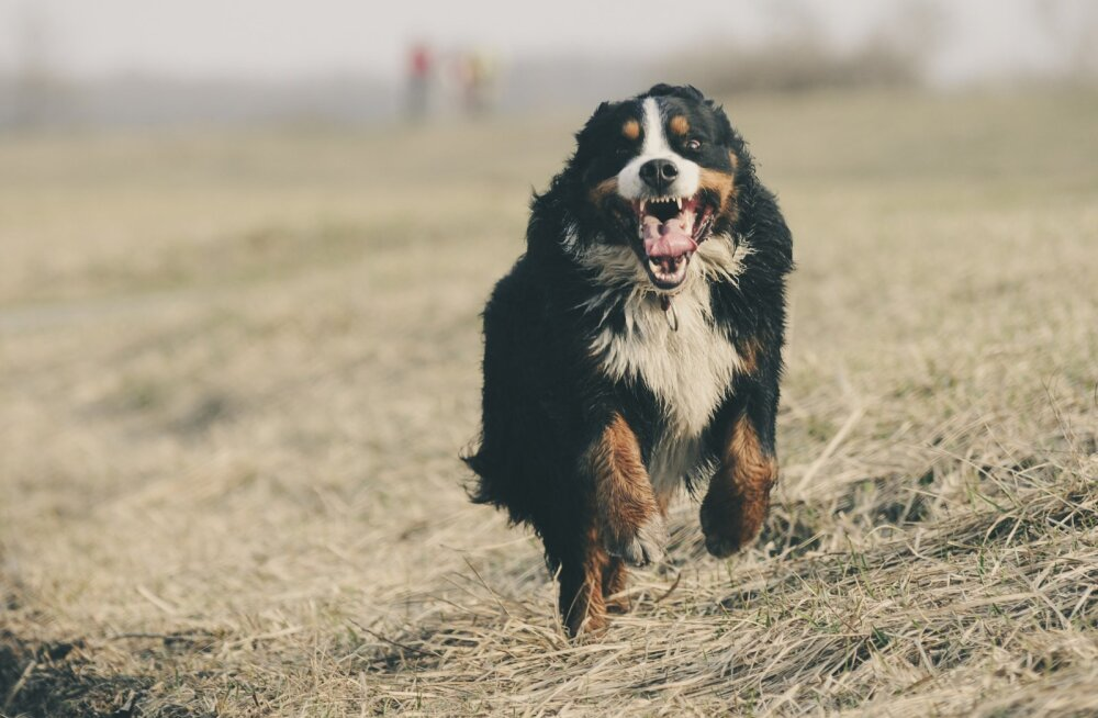 Nutikaid nippe: jalutama ei jõua? 8 võimalust, kuidas oma koer kiirelt ära väsitada