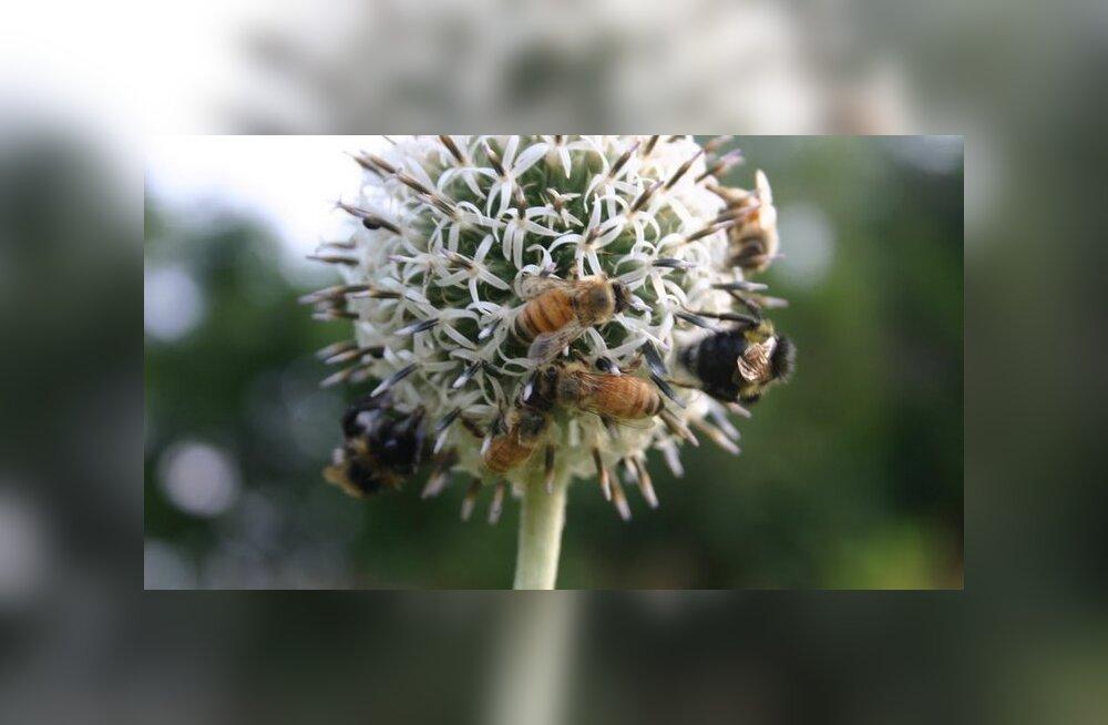 Kui mesilased surevad
