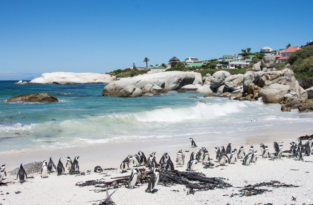 Pingviinid! Boulder´s Beach.