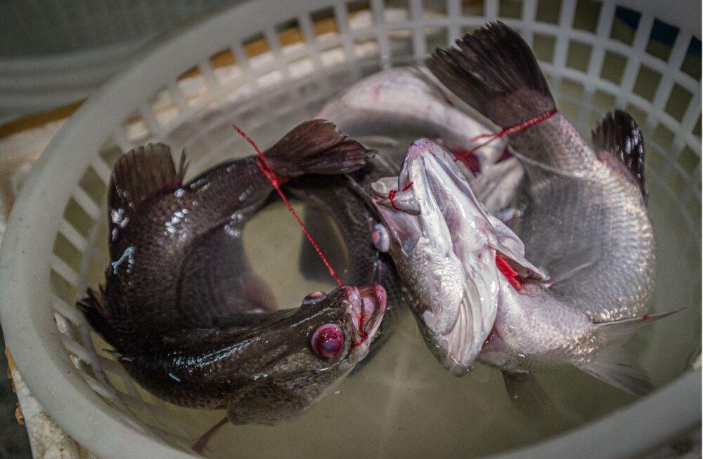FOTOD   Loomaturgudel piinatakse elusaid kalu eriti jõhkral moel
