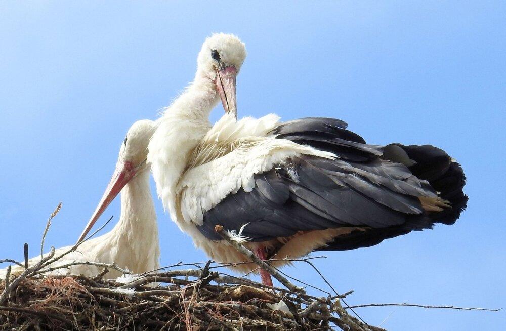Romantiline armusaaga jätkub: maailmakuulus toonekurepaar leidis teineteist taas