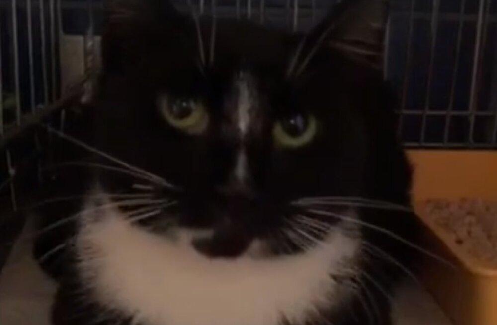 MTÜ Kasside Turvakodu otsib hoiukodu: tänavalt leitud lõpptiine kass on suures hädas