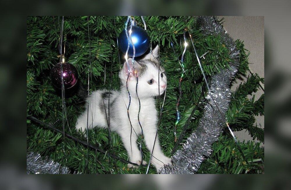 kuusk_kass