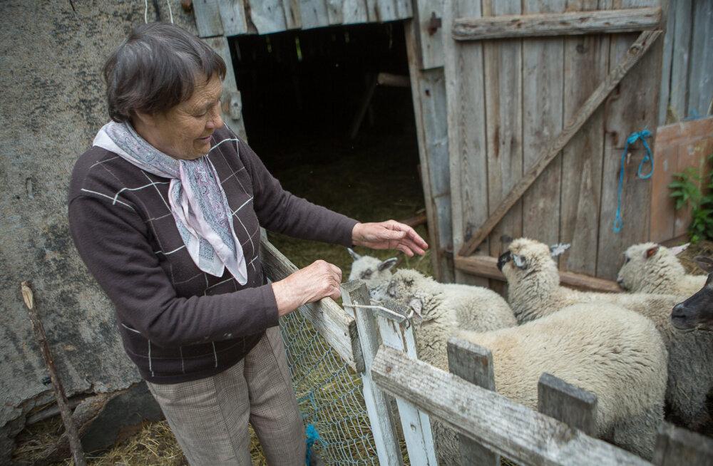 MEIE MAA | Perenaine kaotas ründe tõttu pooled lambad