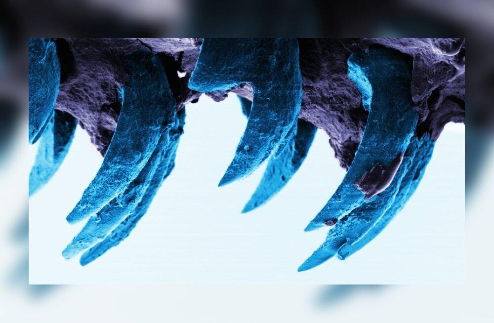 Ämblikusiid kaotas tugevaima loodusliku materjali tiitli meriteo hammastele